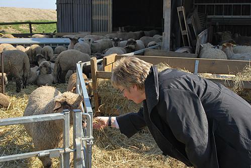 Foto: Hiltrud Lotze zu Besuch bei den Heisterbusch-Schafen